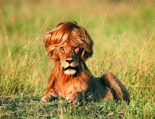 Lions Lose Their Manes When Neutered